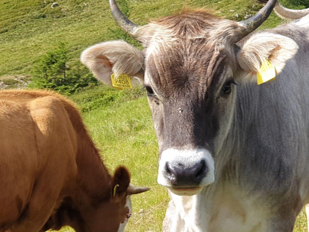 Südtiroler Milchkühe