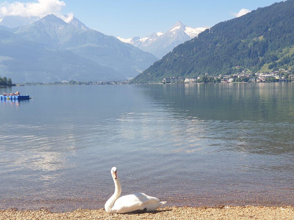 Schwan am Zeller See
